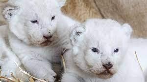 Animaux de compagnie les plus chers - Lionceaux blancs